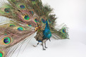 A very rare antique walking and fantail-displaying Indian peacock automaton, by Roullet & Decamps